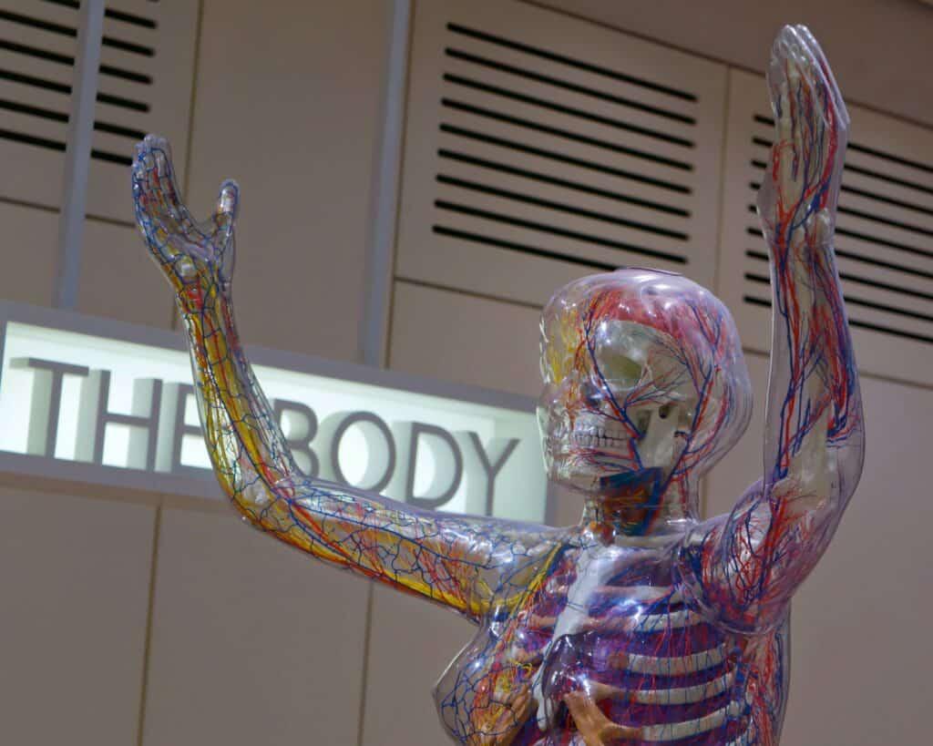 Female representation of skeleton, blood vessels and organs