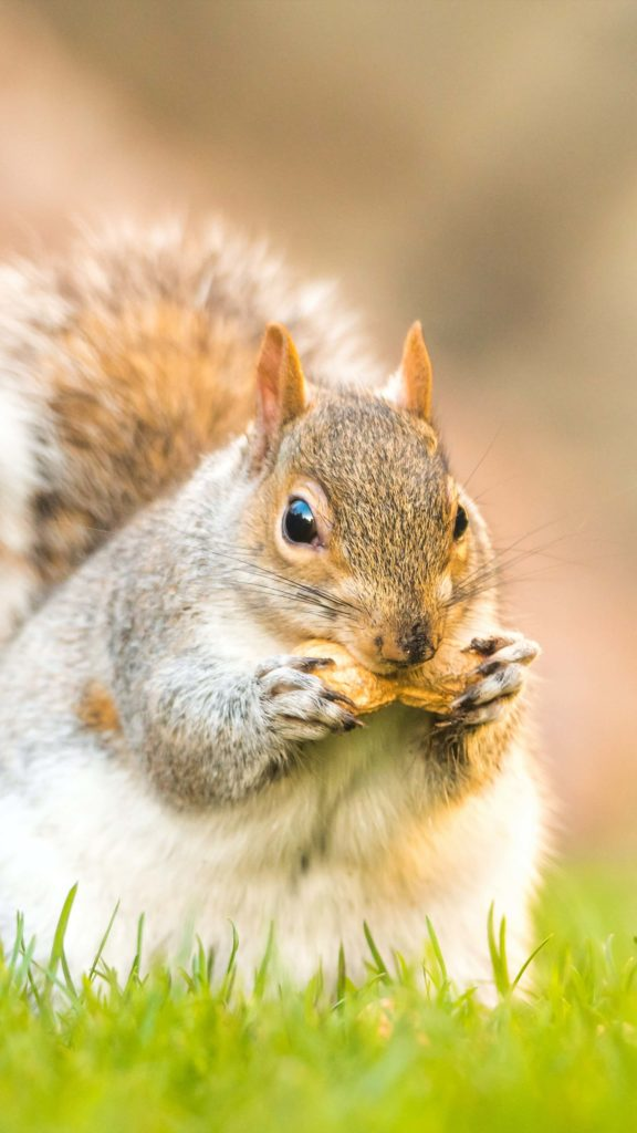 Squirrel holding on to two nuts