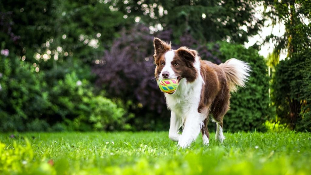 Dog (Collie) runnign in grass with ball in mouth.