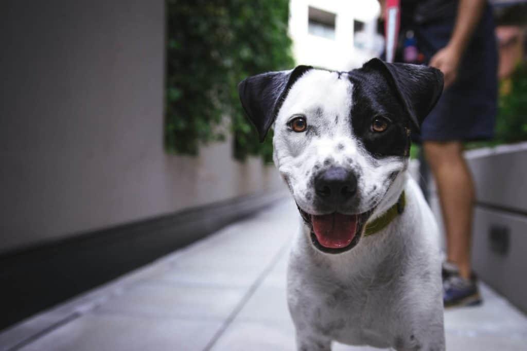 Photo of black and white dog on a side walk. Photo by Justin Veenema on Unsplash