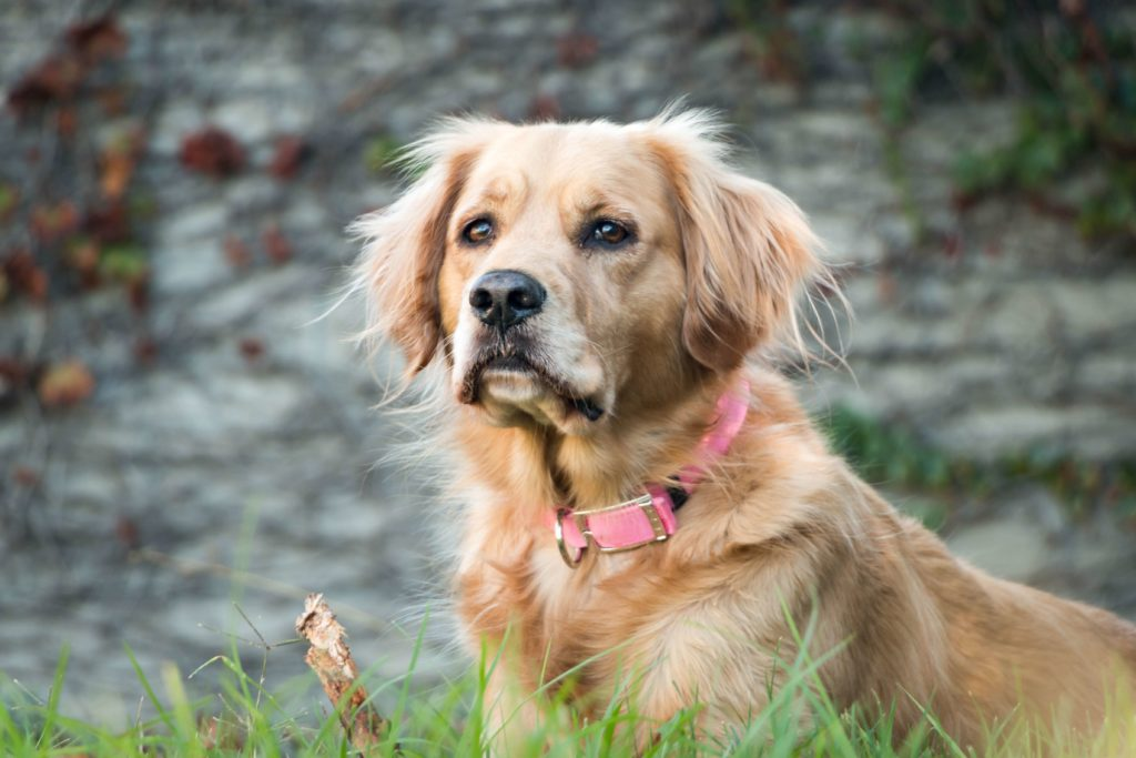 Golden dog in the grass.  Photo by Roberto Lopez on unsplash.com.