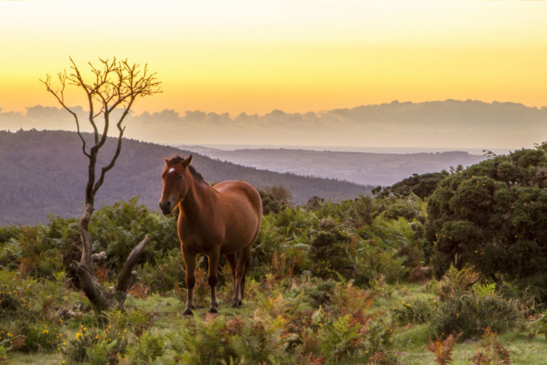 Wild pony on moors at sunrise
