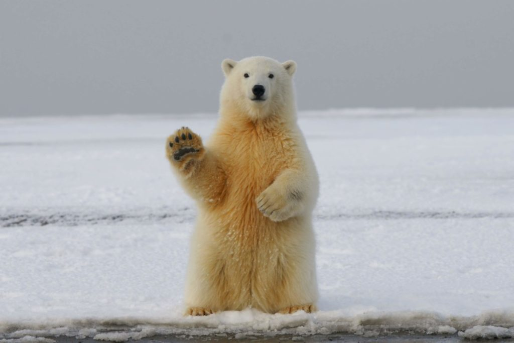 A polar bear waving. Wildlife can thrive with a better climate if we focus on reforestation.