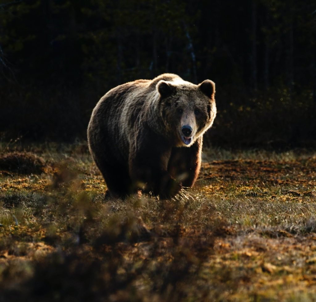A bear approaching. Wildlife can thrive if we focus on reforestation..