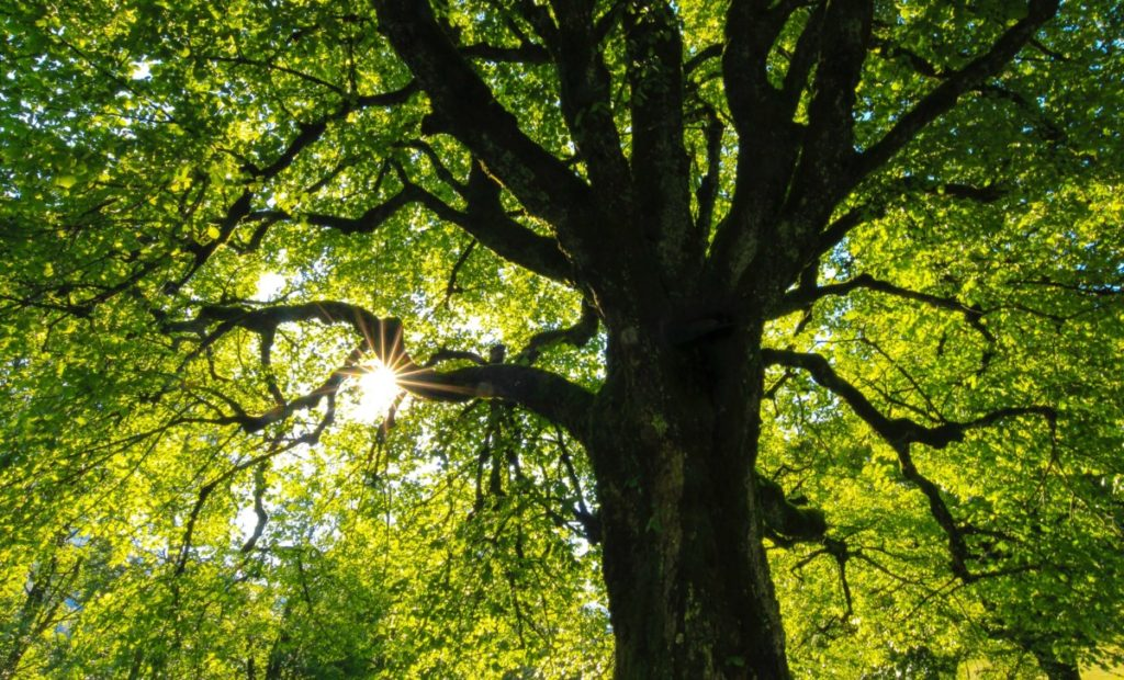 forest canopy with sun shining through